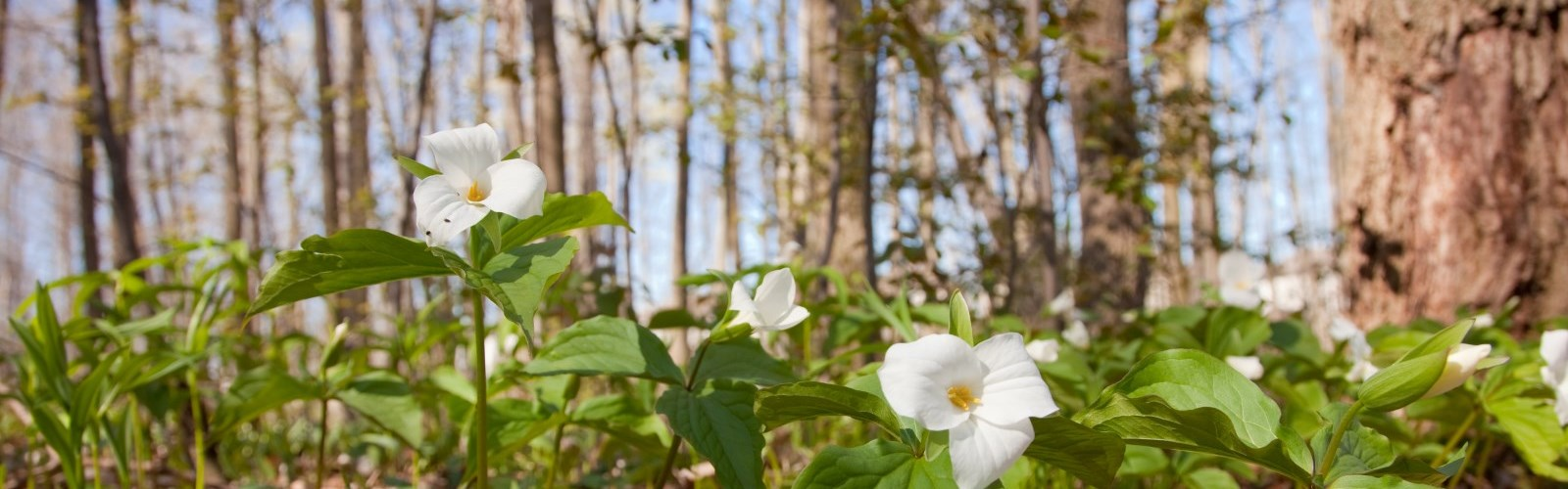 Picture of Trillium in the forest